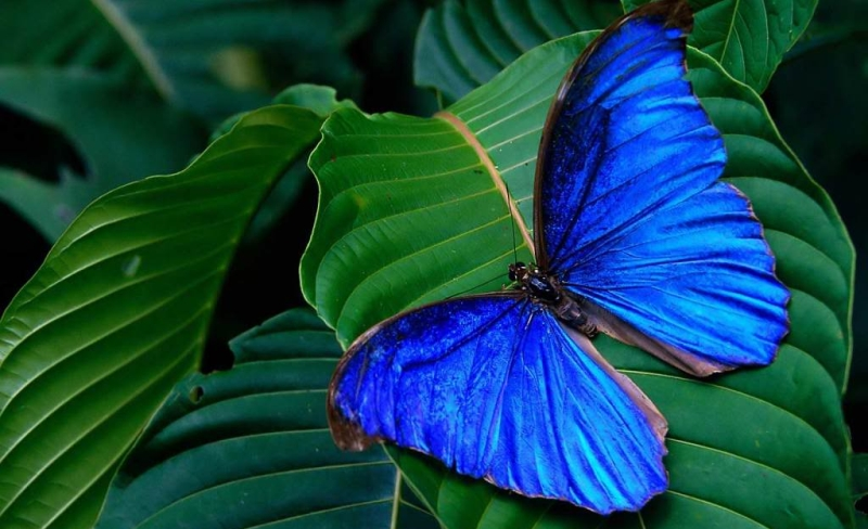 يتغذى على الفراشات في أدغال أستراليا