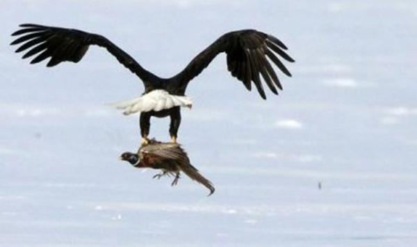 صقر يغرق طائرا أزعجه