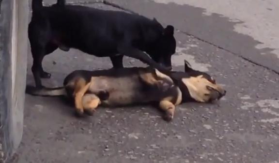كلب يحاول إحياء صديقه الميت