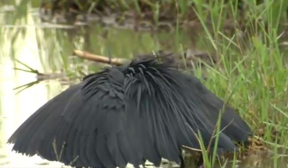طريقة ذكية لطائر البلشون الأسود في اصطياد السمك
