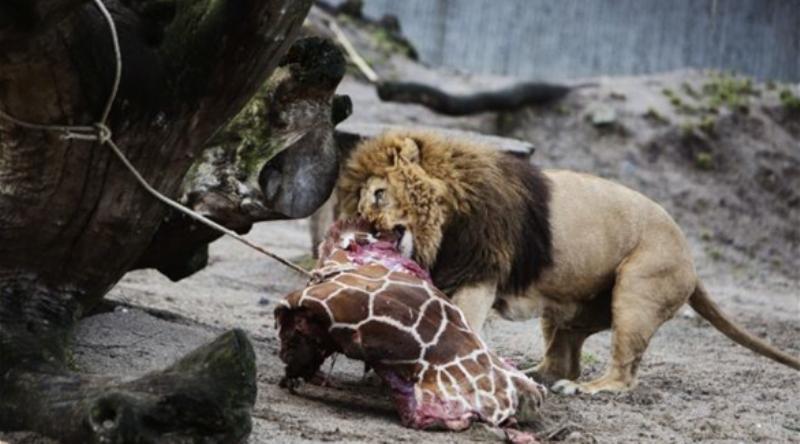 قتل زرافة بالدانمارك بحجة عدم وجود مكان لها في الحديقة