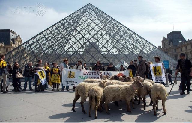 نعاج تجتاح متحف اللوفر وسط دهشة الزوار