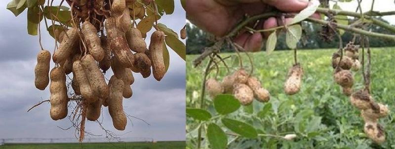 تعرف على شجر الفول السوداني(الكاكاو)