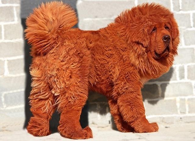 الأثرياء يتهافتون على الكلب التيبتي..وسعر الواحد قد يفوق مليون دولار
