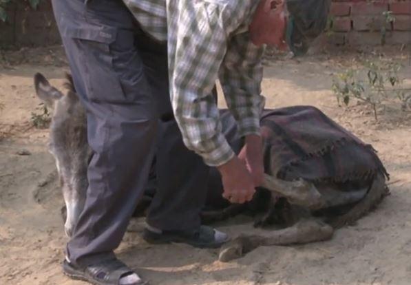 زوجان بريطانيان في مهمة لانقاذ حمير الهند