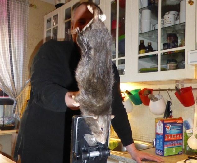 عائلة سويدية تصدم بوجود جرذ طوله 40 سنتمتر بمطبخها