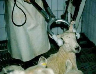 في الجزائرقرار بتدويخ الحيوان قبل ذبحه  يثير غضبا غير سياسي
