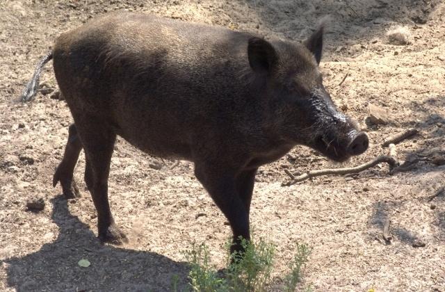 الخنزير البري مصدر معاناة  لساكنة بوادي سوس ماسة درعة