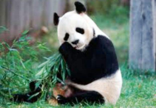 حديقة حيوان تشيّد ملاهي خاصة لباندا مكتئبة