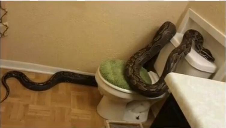 أمريكية تصدم بوجود أفعى كبيرة داخل حمام منزلها
