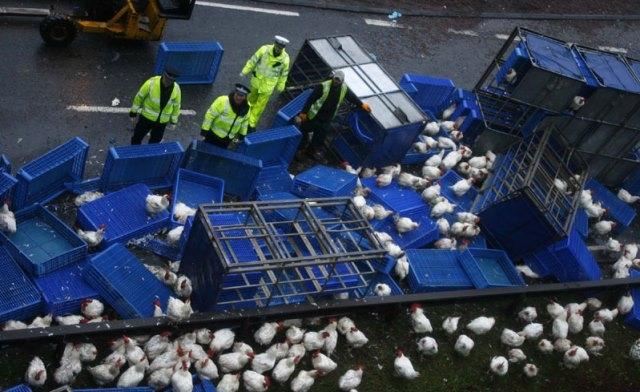 هروب 2000 دجاجة  يتسبب في إغلاق طريق رئيسية بمانشيستر