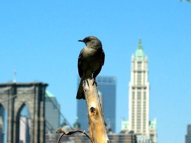 ذبذبات الهواتف النقالة تهدد الطيور في المجال الحضري