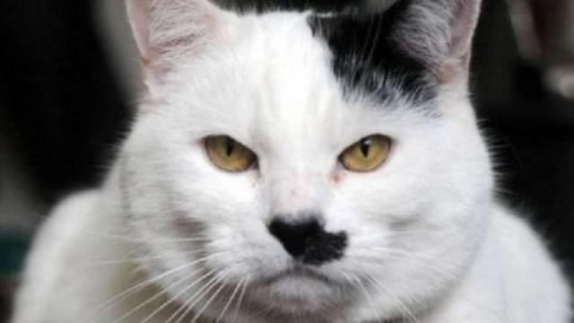 قط يتعرض لاعتداء من قبل مجهولين و السبب ... لأنه شبيه بهتلر