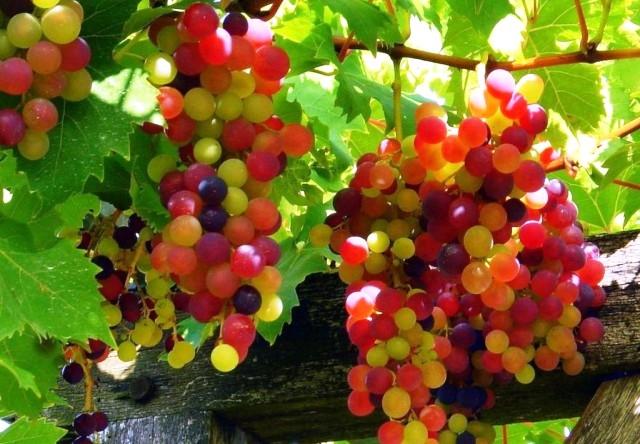 العنب منجم من العناصر الغذائية والمعدنية