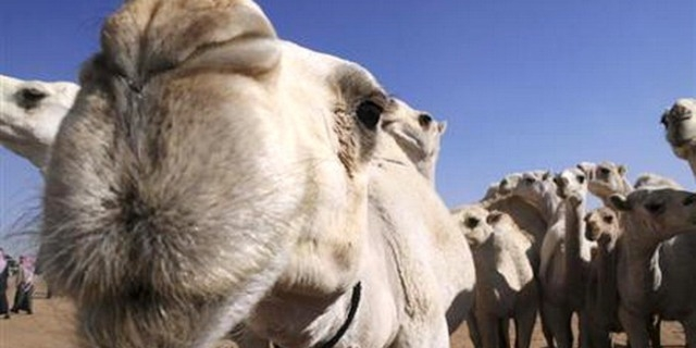 السعودية تزرع رقائق للإبل لاحتواء فيروس كورونا