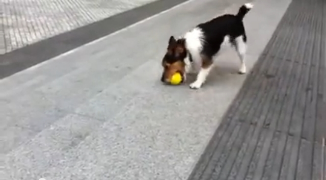 شاهد كيف يلعب هذا الكلب مع نفسه