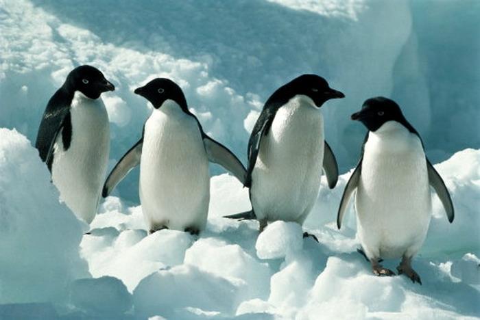 انفلونزا الطيور أصابت البطاريق في القطب الجنوبي