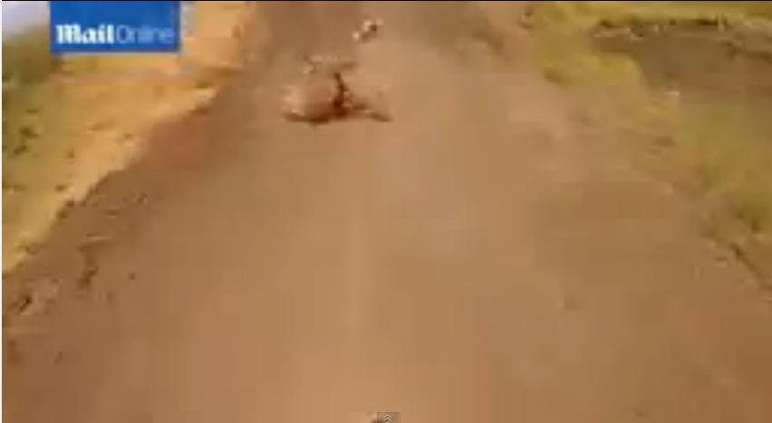 فيديو طريف..بقرة نائمة تتسب في سقوط سائق دراجة نارية