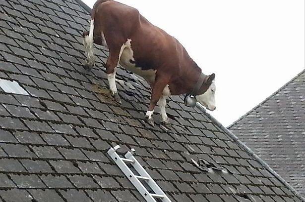 منظر غريب..بقرة فوق سطح منزل