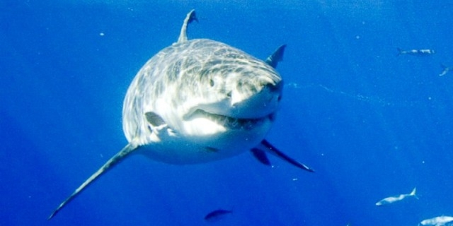 زيادة أعداد أسماك القرش الأبيض في الأطلسي