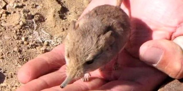 اكتشاف جديد... فأر شبيه بالفيل