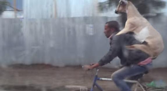 شاهد كيف يحمل راكب الدراجة جديه على ظهره