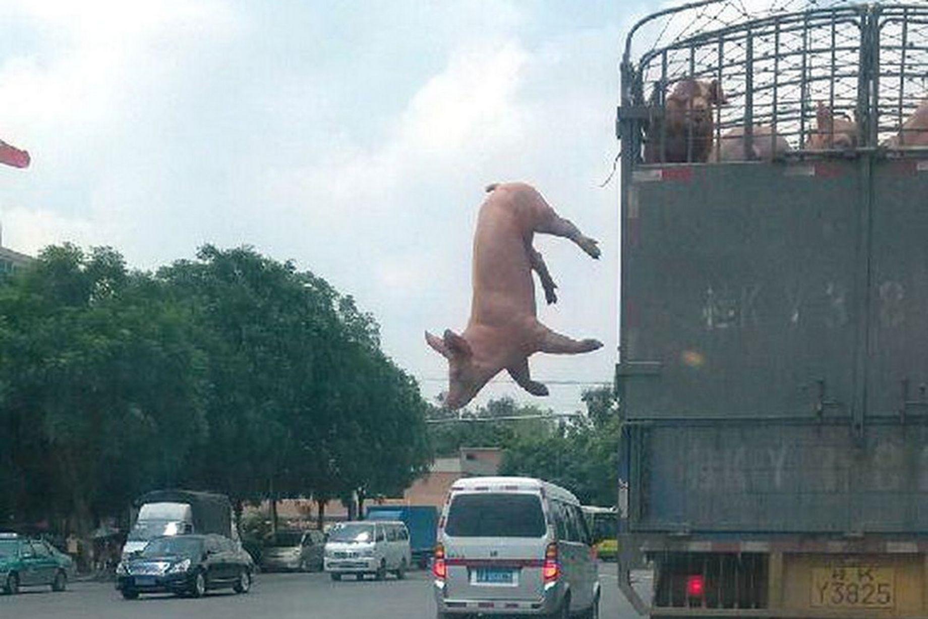 من أجل معانقة الحرية..خنزير يقوم بقفزة انتحارية من فوق شاحنة