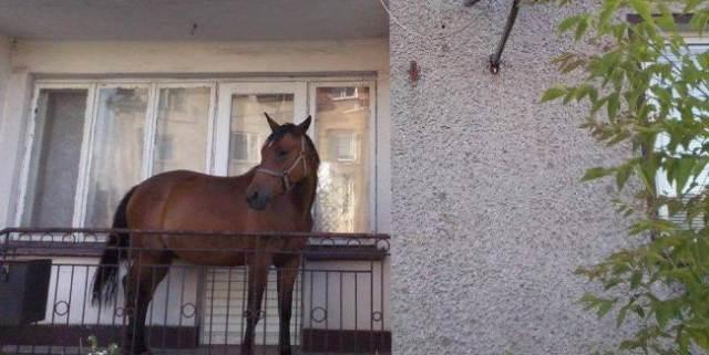 بولندي يحتفظ بحصان بشرفة المنزل مخافة سرقته من قبل اللصوص