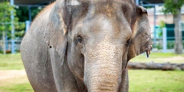 إخضاع أنثى فيل حبلى لحمية غذائية