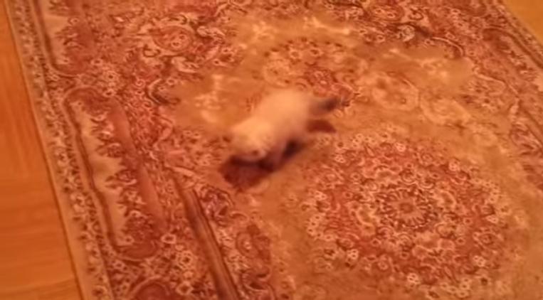 قطة صغيرة خائفة من السجاد
