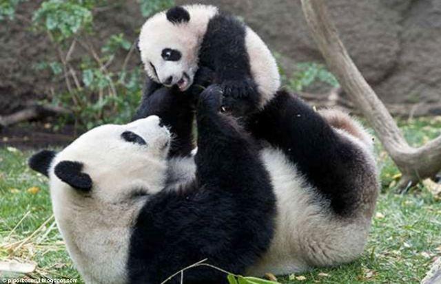 حديقة حيوان واشنطن تحتفل بعيد ميلاد الباندا