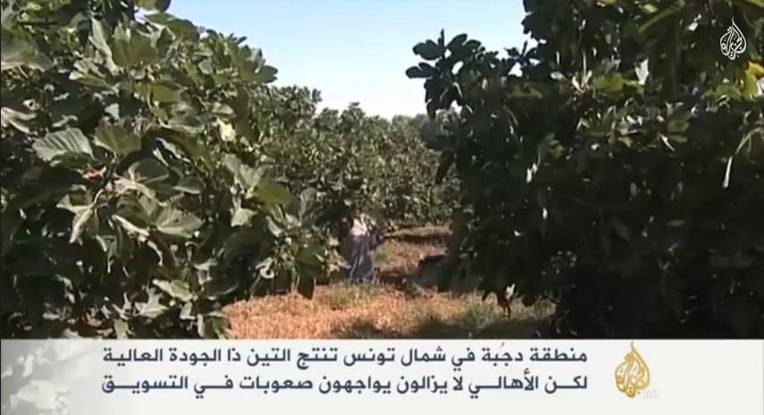 أجود أنواع التين بمنطقة دجبة التونسية
