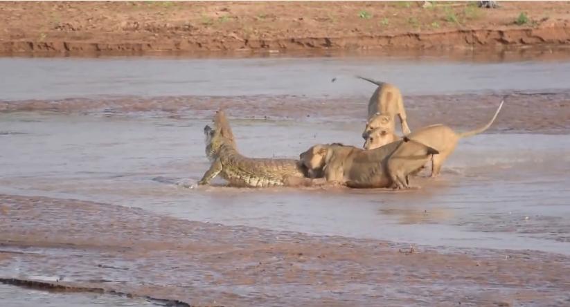 مواجهة شرسة بين أسود وتمساح