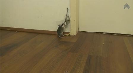 فأر يقرع الجرس لكي يفتح له الباب
