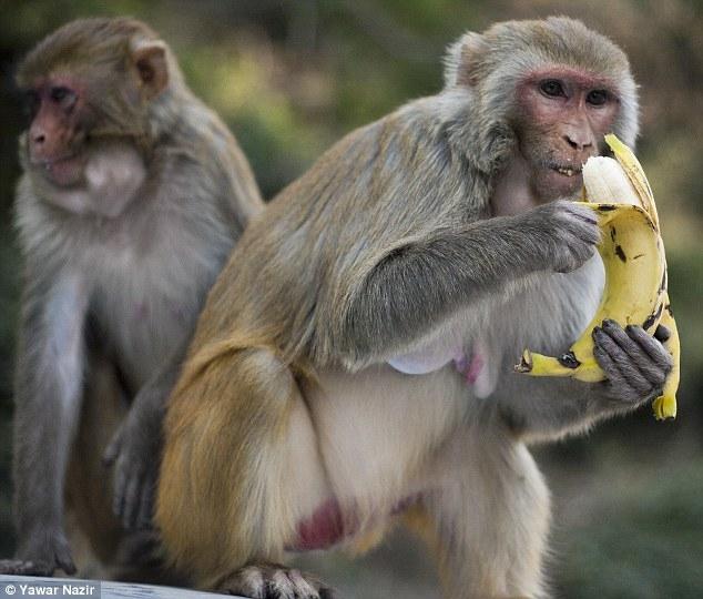 القرود تكشف الطريقة الصحيحة لتقشير الموز