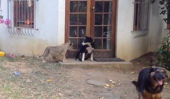 لقطة طريفة بين شبل وكلب