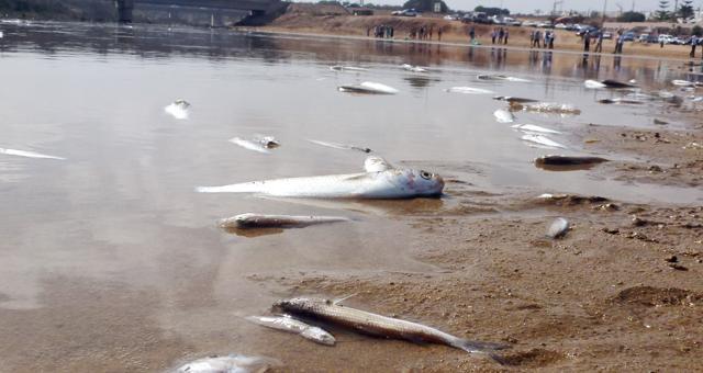 ظاهرة غريبة..شواطيء المحمدية تلفظ الأسماك بعد نفوقها
