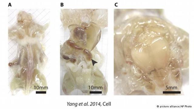 فئران شفافة لمعرفة عمل وظائف الجسم الداخلية