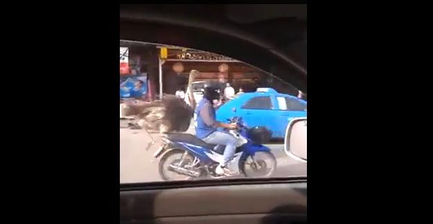 نعامة تجري وسط أحد شوارع تايلاند