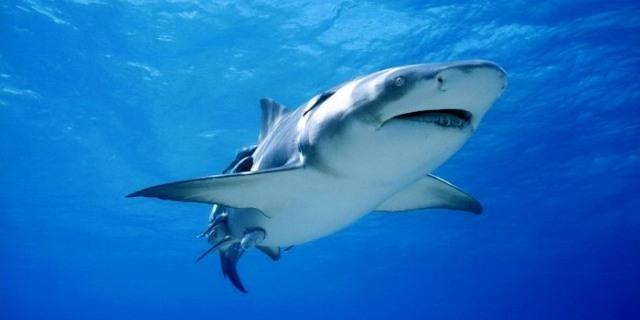 أسماك القرش تهاجم الرجال أكثر من النساء