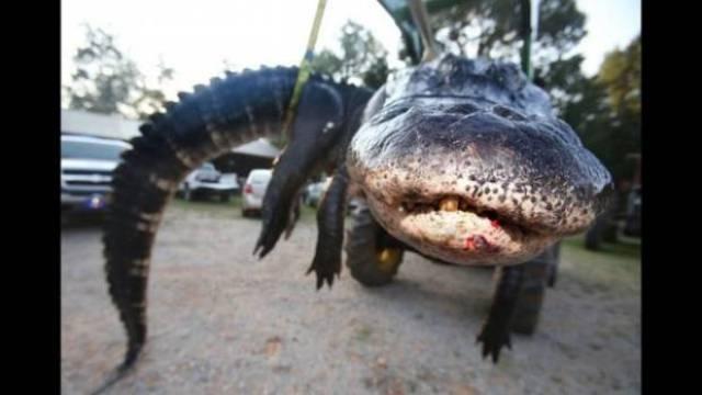 سيدة أمريكية تنجح في قتل أكبر تمساح في العالم