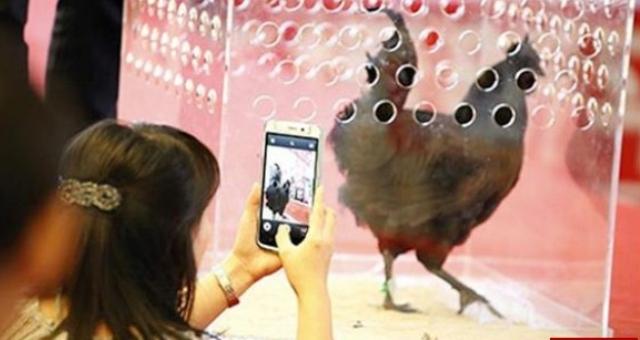 دجاجة سوداء تتوج ملكة جمال الطيور لعام 2014