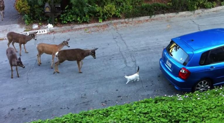 لقاء غريب بين قط وقطيع غزلان