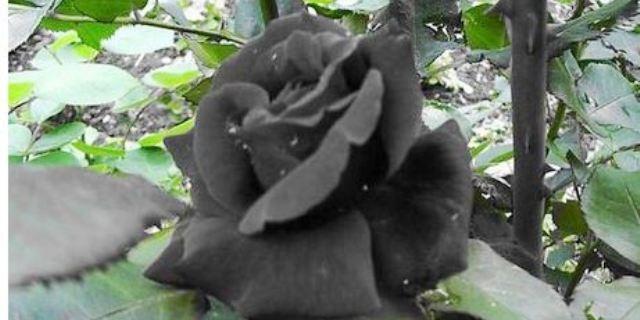 «الورود السوداء» التركية نذيرة شؤم رغم جمالها النادر