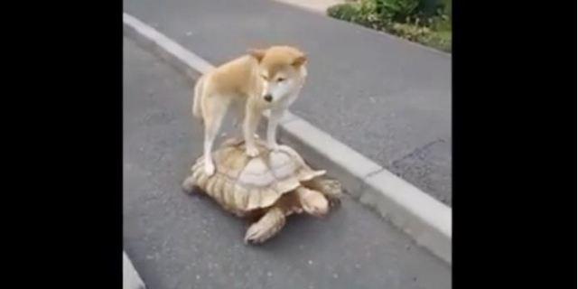 صداقة غريبة بين كلب وسلحفاة