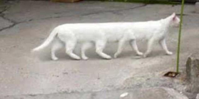 قطة ب 8 أرجل