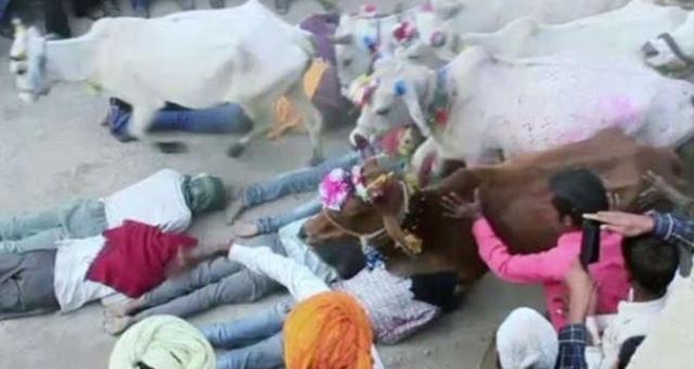 بالفيديو... «النوم تحت البقر».. طقوس هندية لـ«تحقيق الأماني»