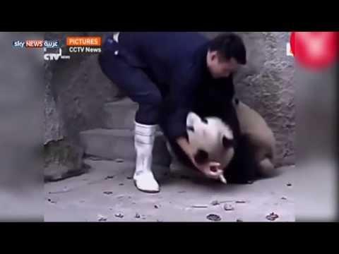 حتى دببة الباندا تكره الحقن