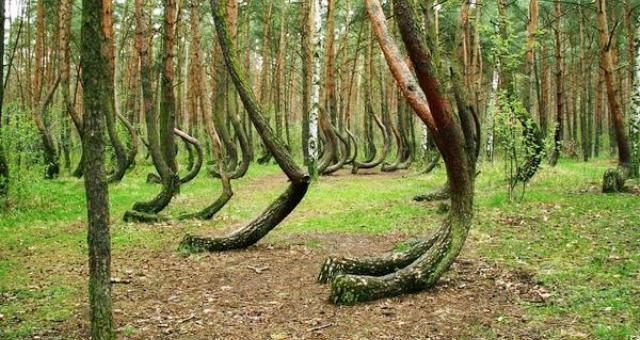 بالصور.. شاهد أشجارا غريبة في غابة بولندية