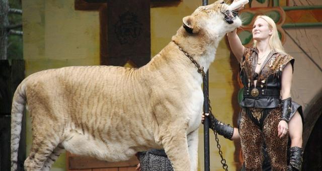 بالفيديو... أكبر قط في العالم نصف نمر ونصف أسد